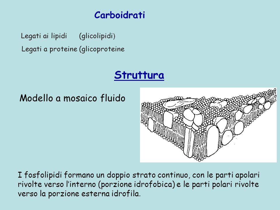 Struttura Carboidrati Modello a mosaico fluido