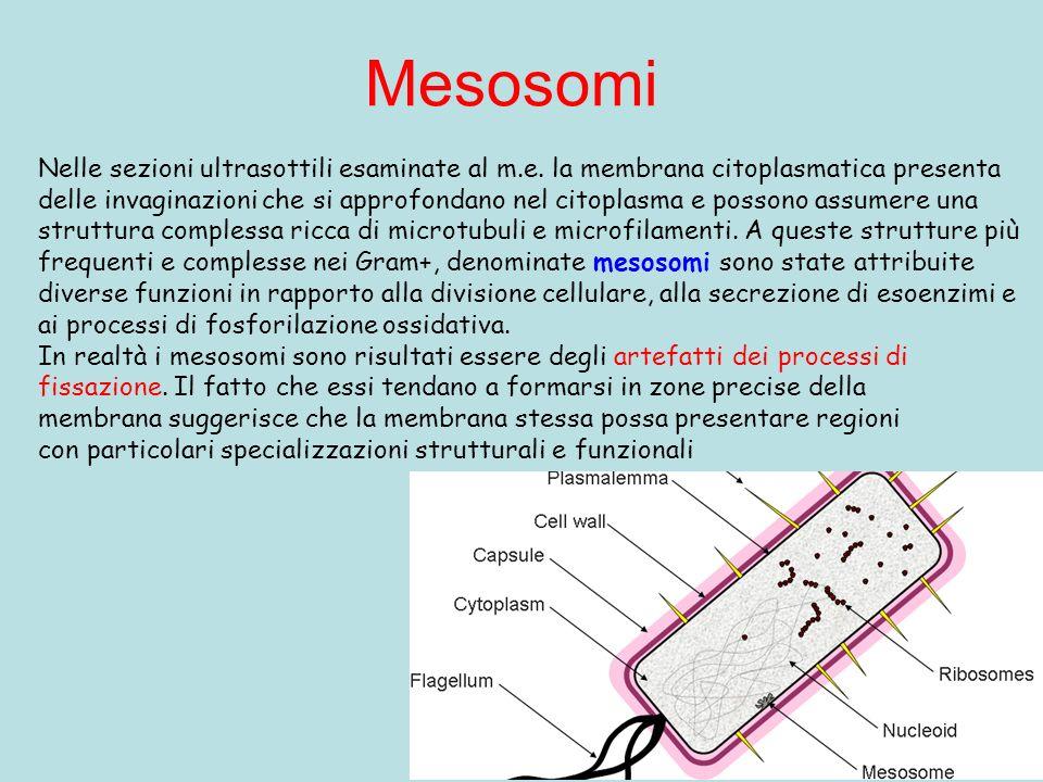 Mesosomi Nelle sezioni ultrasottili esaminate al m.e. la membrana citoplasmatica presenta.