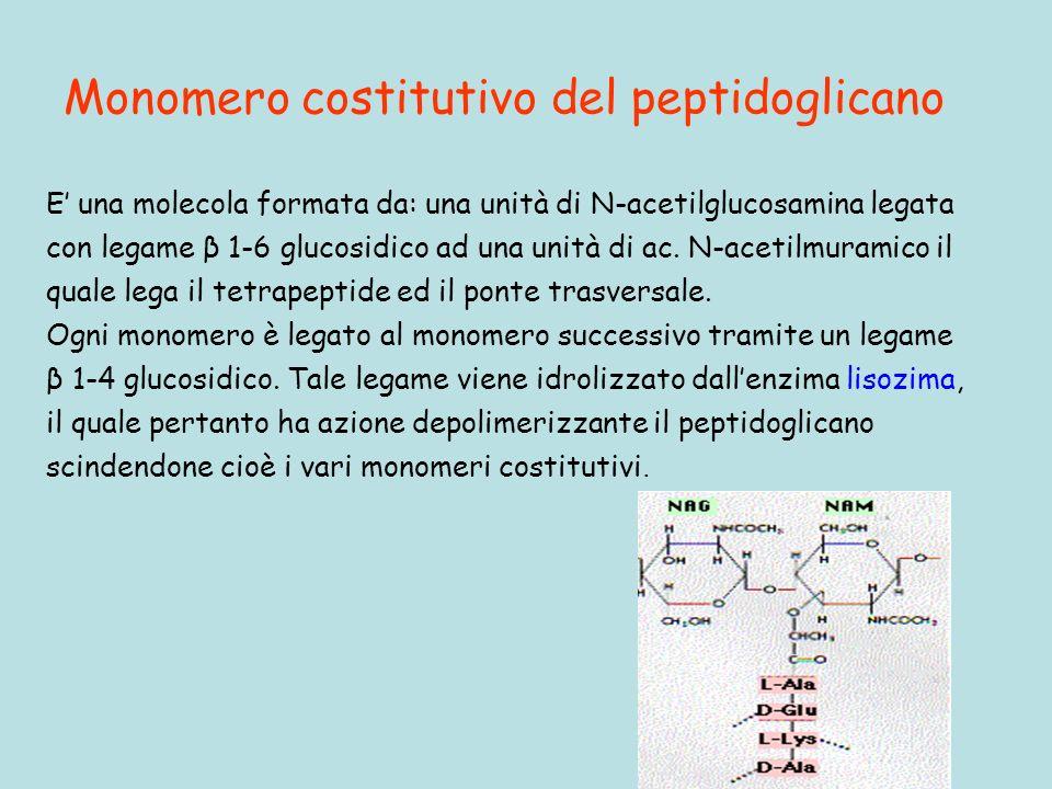 Monomero costitutivo del peptidoglicano