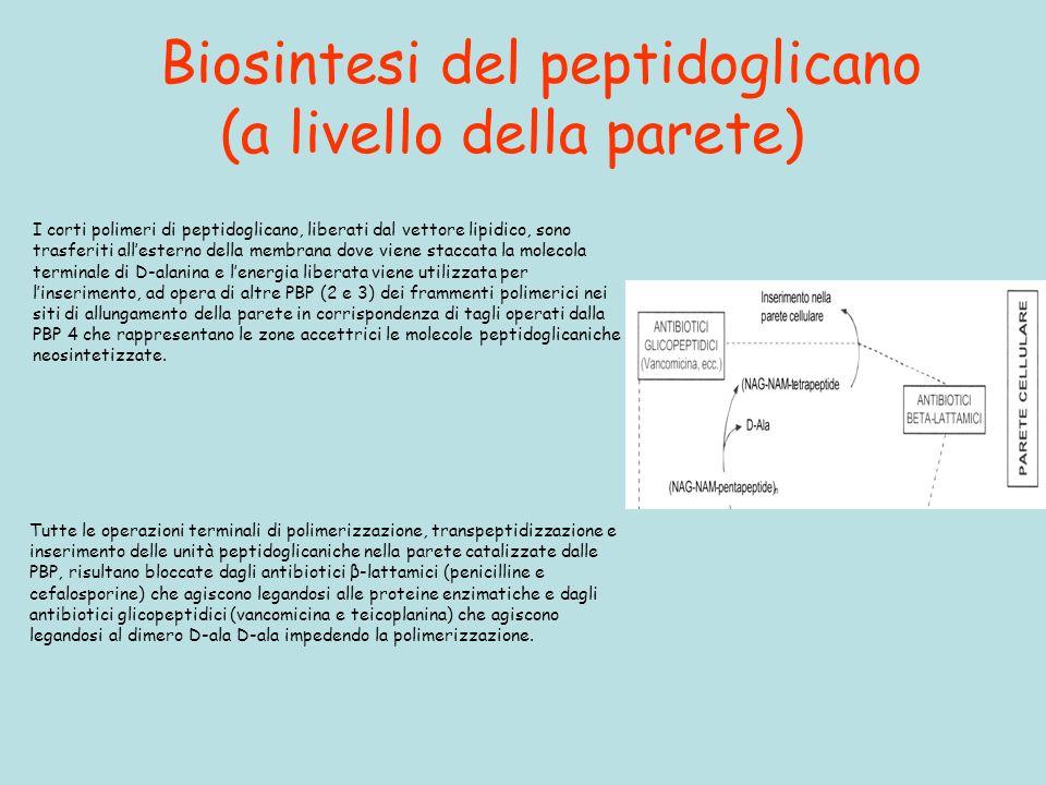 Biosintesi del peptidoglicano (a livello della parete)