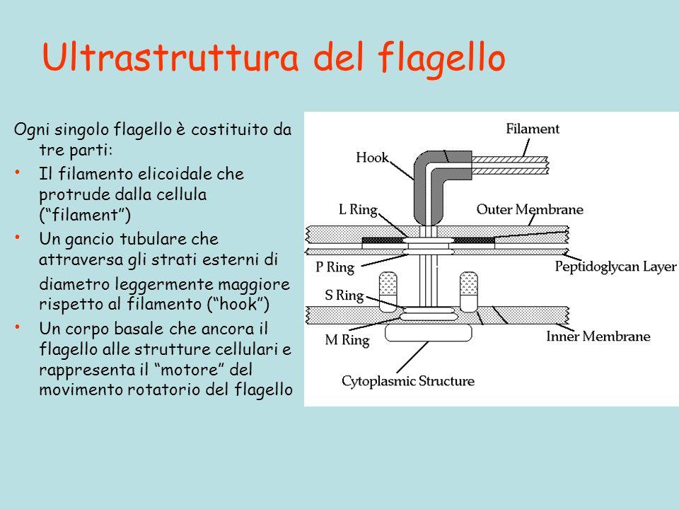 Ultrastruttura del flagello