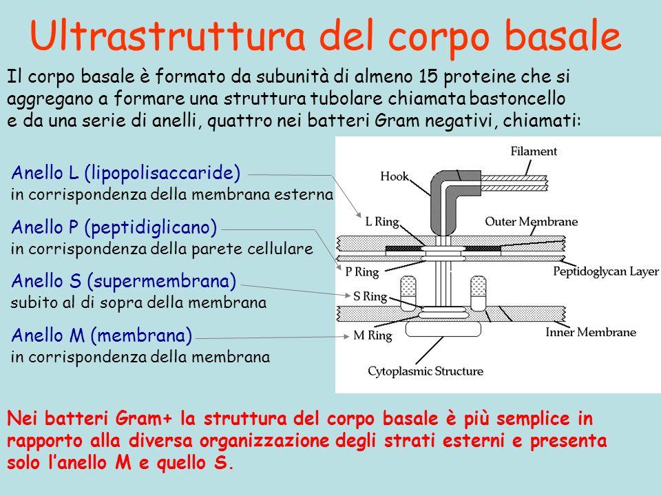 Ultrastruttura del corpo basale