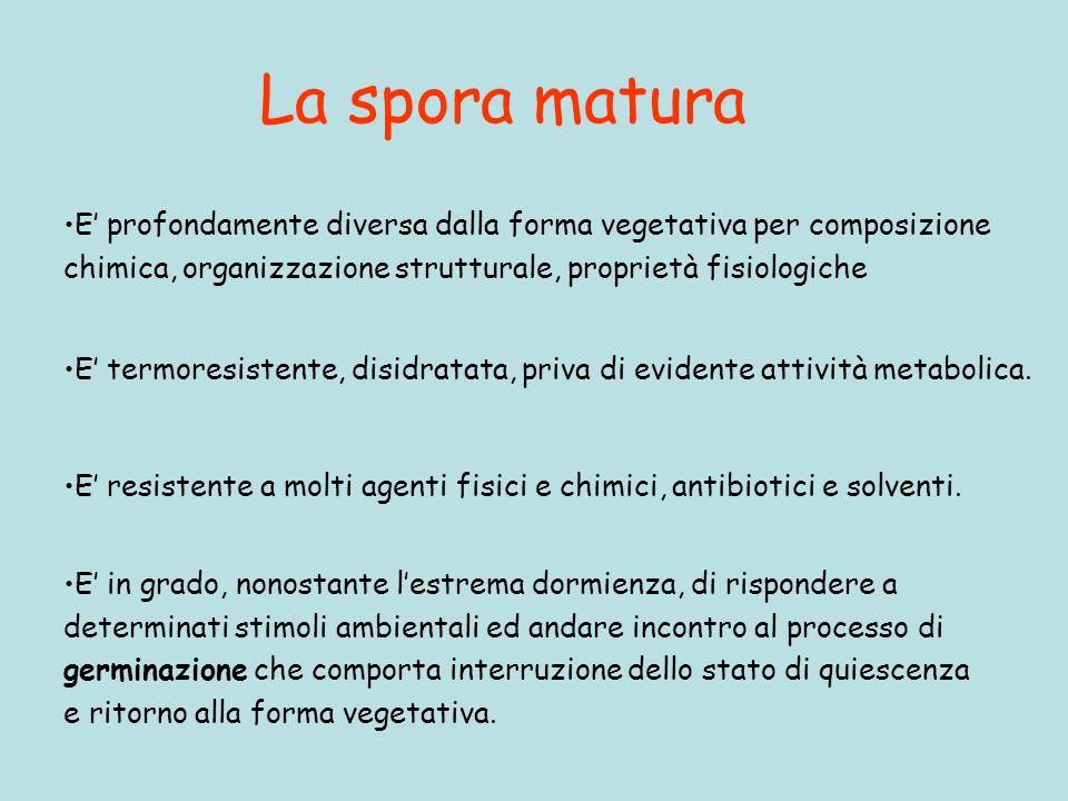La spora matura E' profondamente diversa dalla forma vegetativa per composizione. chimica, organizzazione strutturale, proprietà fisiologiche.