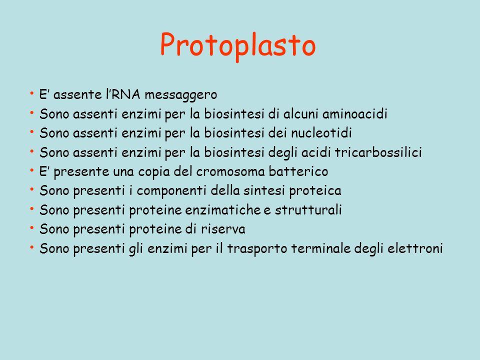 Protoplasto E' assente l'RNA messaggero