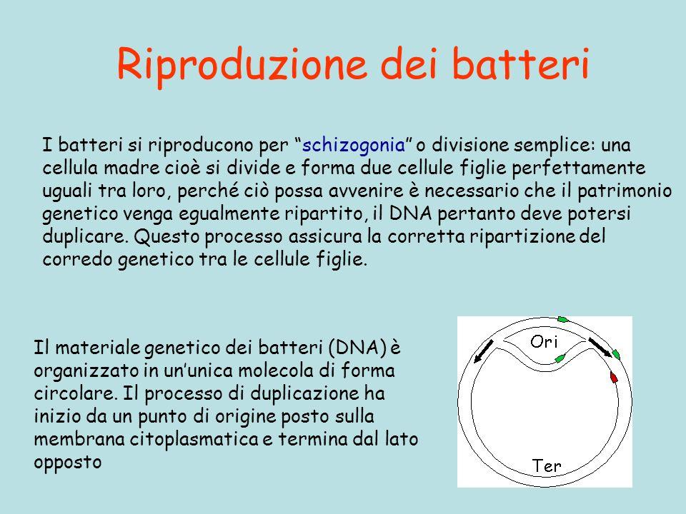 Riproduzione dei batteri
