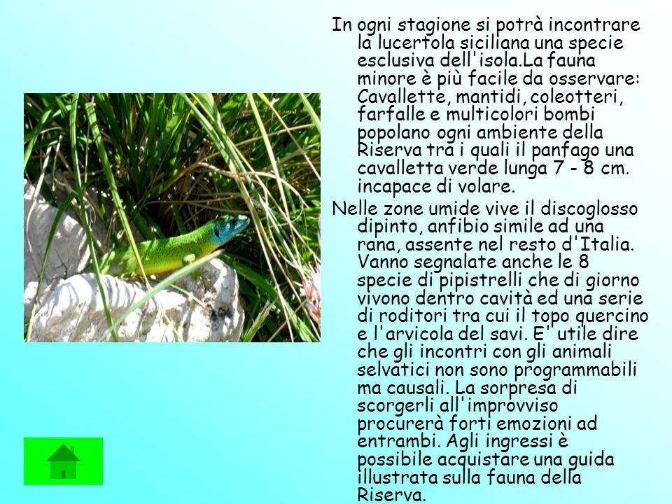 In ogni stagione si potrà incontrare la lucertola siciliana una specie esclusiva dell isola.La fauna minore è più facile da osservare: Cavallette, mantidi, coleotteri, farfalle e multicolori bombi popolano ogni ambiente della Riserva tra i quali il panfago una cavalletta verde lunga 7 - 8 cm. incapace di volare.