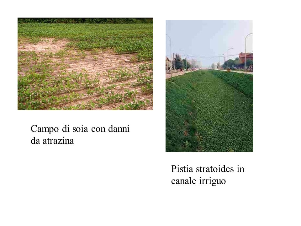 Campo di soia con danni da atrazina