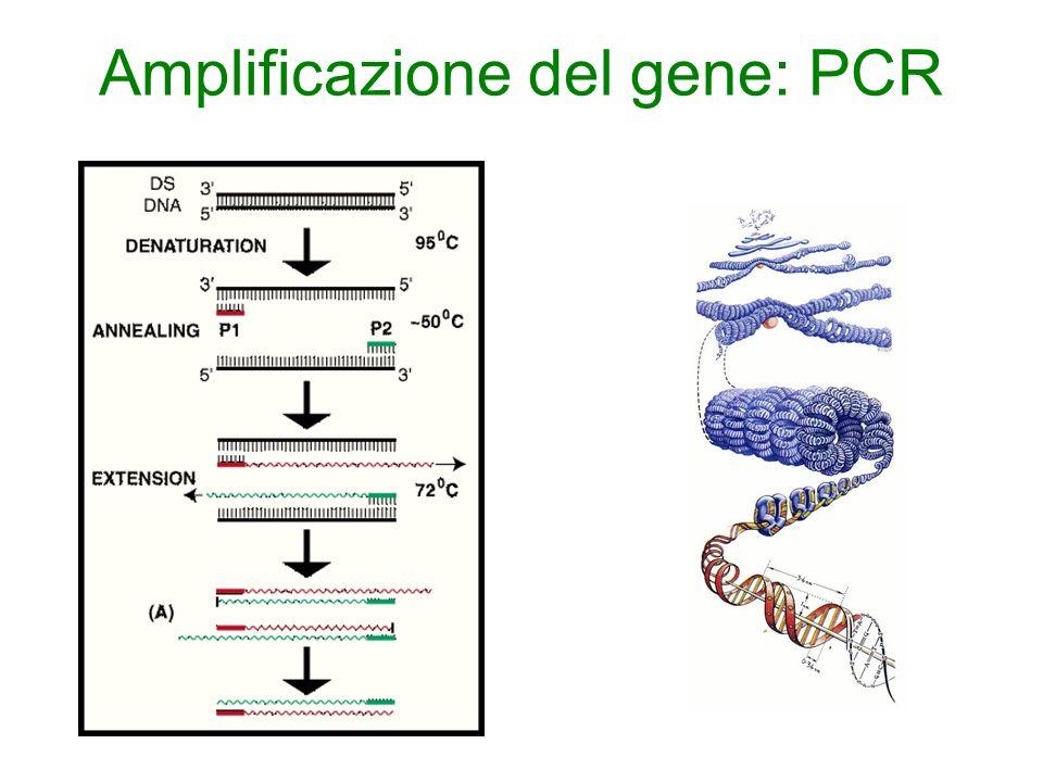 Amplificazione del gene: PCR