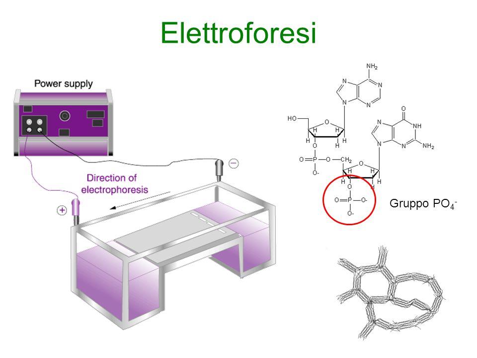 Elettroforesi Gruppo PO4-