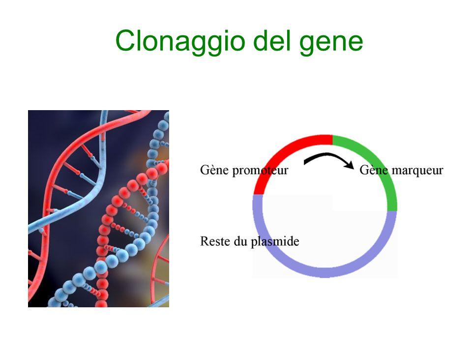 Clonaggio del gene