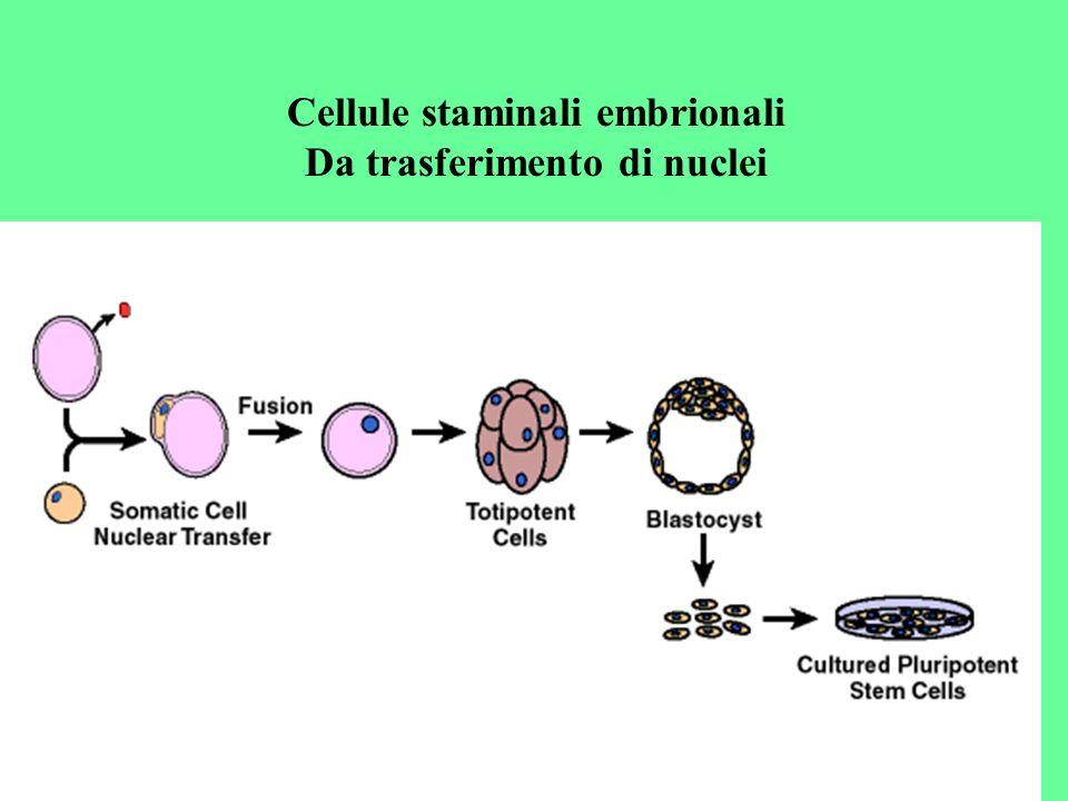 Cellule staminali embrionali Da trasferimento di nuclei