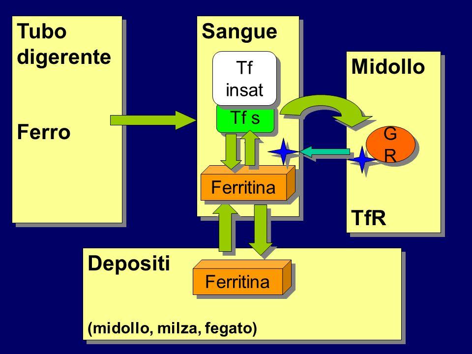 Tubo digerente Ferro Sangue Midollo TfR Depositi Tf insat Tf s GR