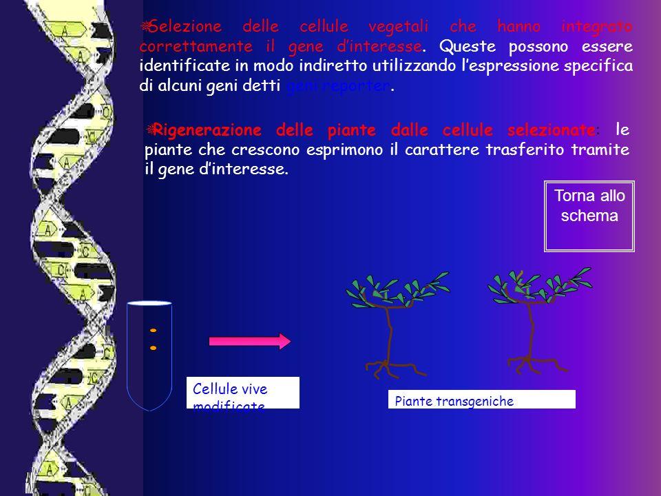 Selezione delle cellule vegetali che hanno integrato correttamente il gene d'interesse. Queste possono essere identificate in modo indiretto utilizzando l'espressione specifica di alcuni geni detti geni reporter.