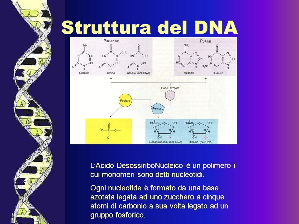 Struttura del DNAL'Acido DesossiriboNucleico è un polimero i cui monomeri sono detti nucleotidi.