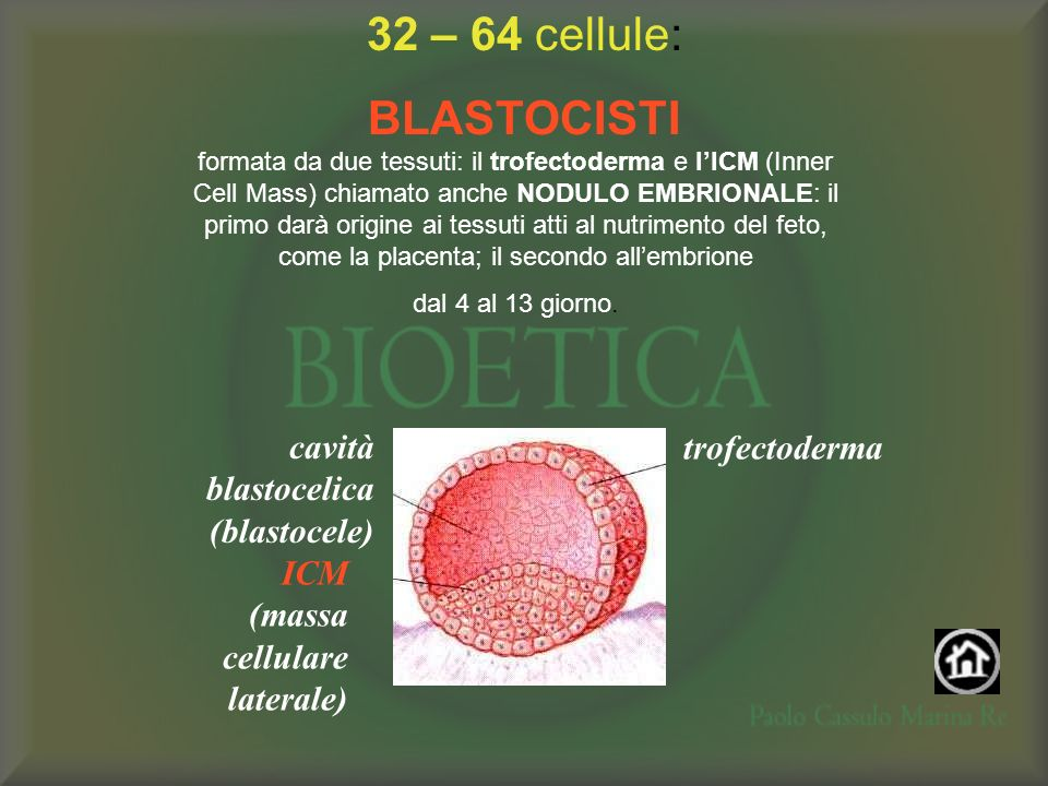 32 – 64 cellule: BLASTOCISTI cavità blastocelica (blastocele)