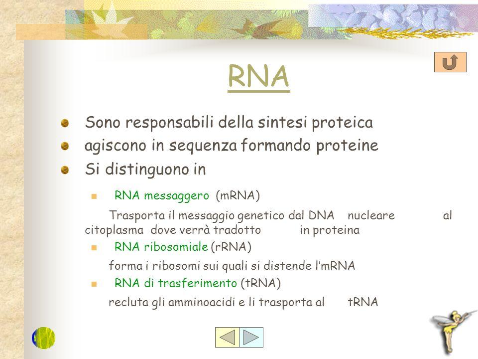 RNA Sono responsabili della sintesi proteica