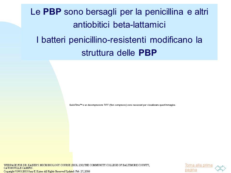 I batteri penicillino-resistenti modificano la struttura delle PBP