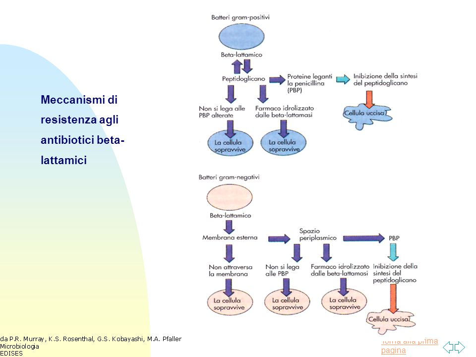 Meccanismi di resistenza agli antibiotici beta-lattamici