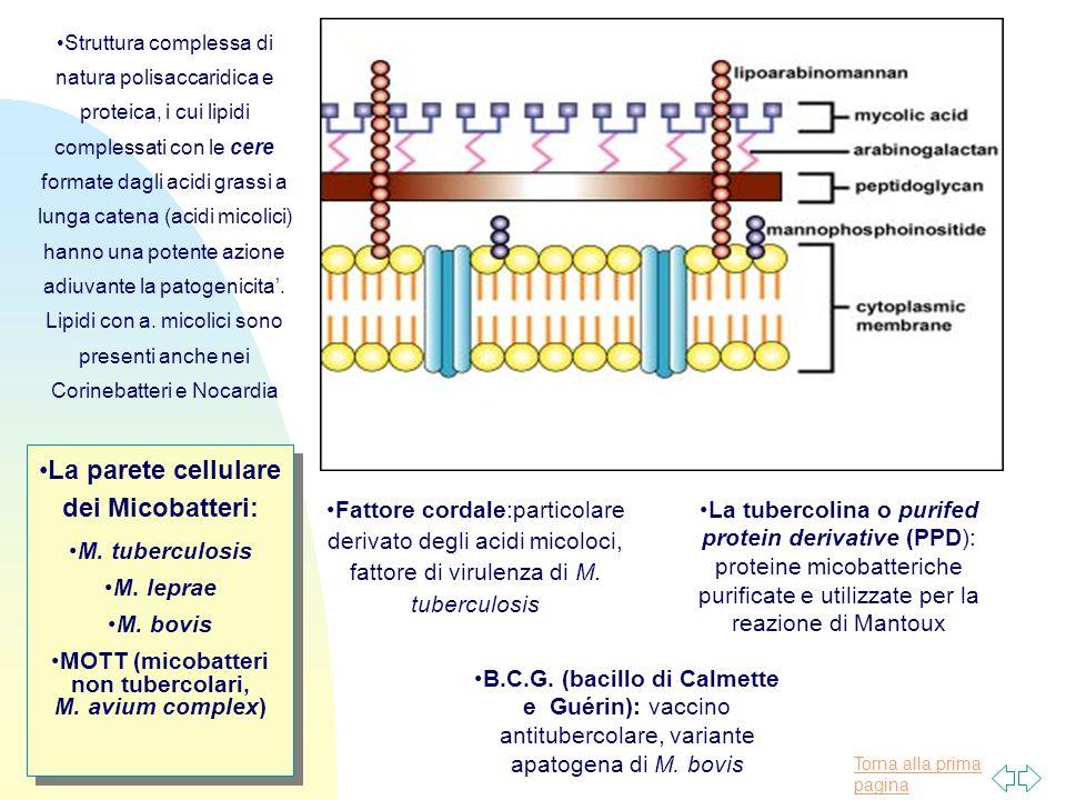 La parete cellulare dei Micobatteri: