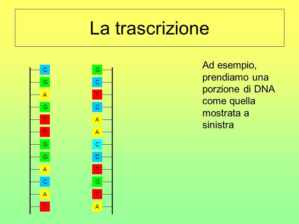 La trascrizione Ad esempio, prendiamo una porzione di DNA come quella mostrata a sinistra. A. G. T.