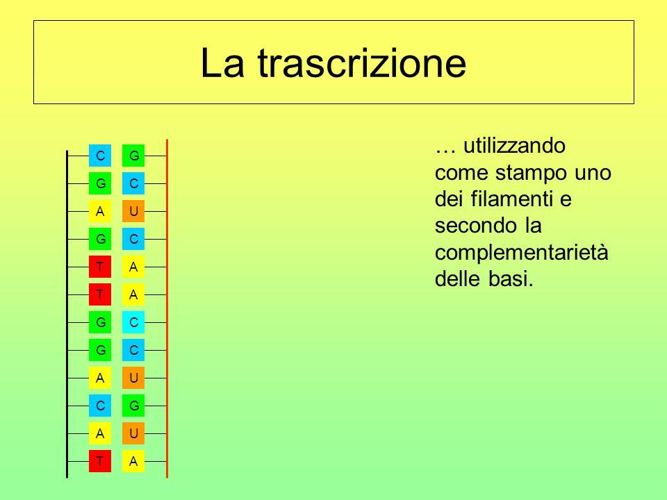 La trascrizione … utilizzando come stampo uno dei filamenti e secondo la complementarietà delle basi.