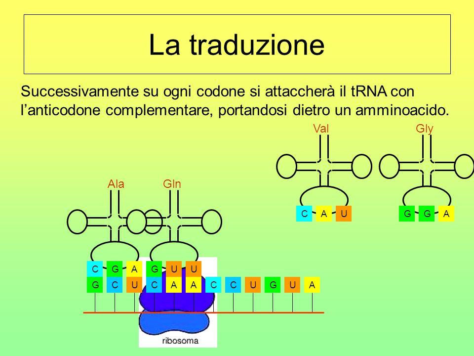 La traduzione Successivamente su ogni codone si attaccherà il tRNA con l'anticodone complementare, portandosi dietro un amminoacido.