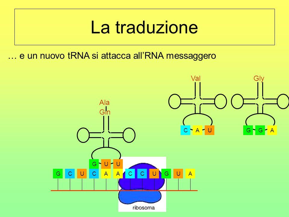 La traduzione … e un nuovo tRNA si attacca all'RNA messaggero Val Gly