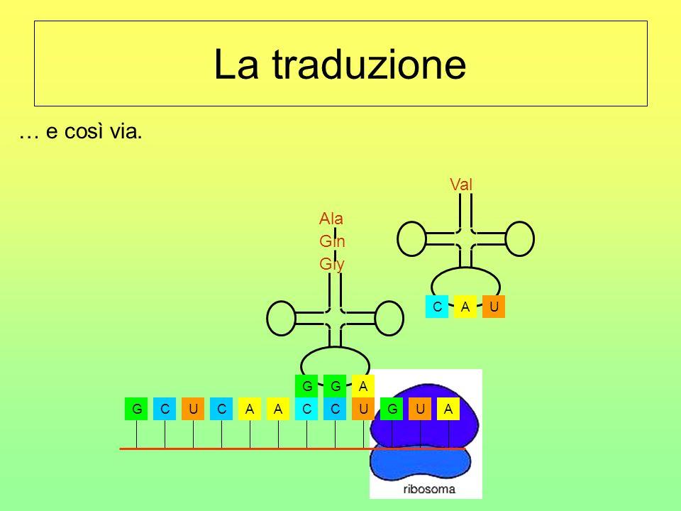 La traduzione … e così via. U C A Val Ala Gln A G Gly G C U A