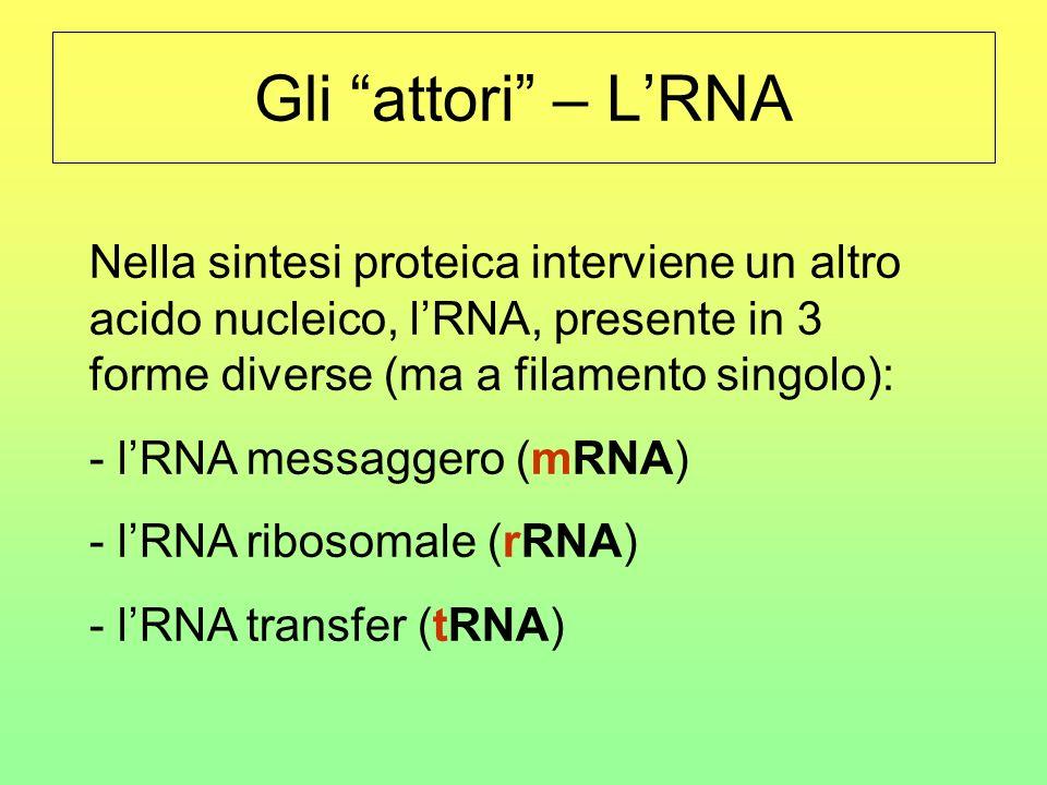 Gli attori – L'RNA Nella sintesi proteica interviene un altro acido nucleico, l'RNA, presente in 3 forme diverse (ma a filamento singolo):
