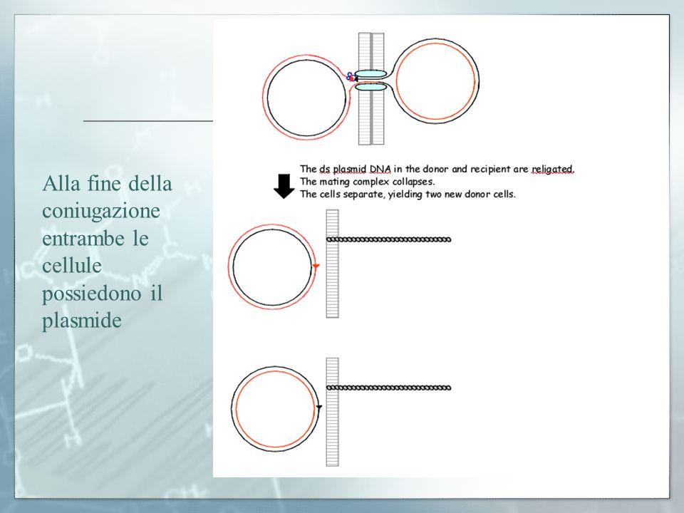 Alla fine della coniugazione entrambe le cellule possiedono il plasmide