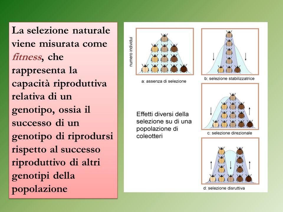 La selezione naturale viene misurata come fitness, che rappresenta la capacità riproduttiva relativa di un genotipo, ossia il successo di un genotipo di riprodursi rispetto al successo riproduttivo di altri genotipi della popolazione