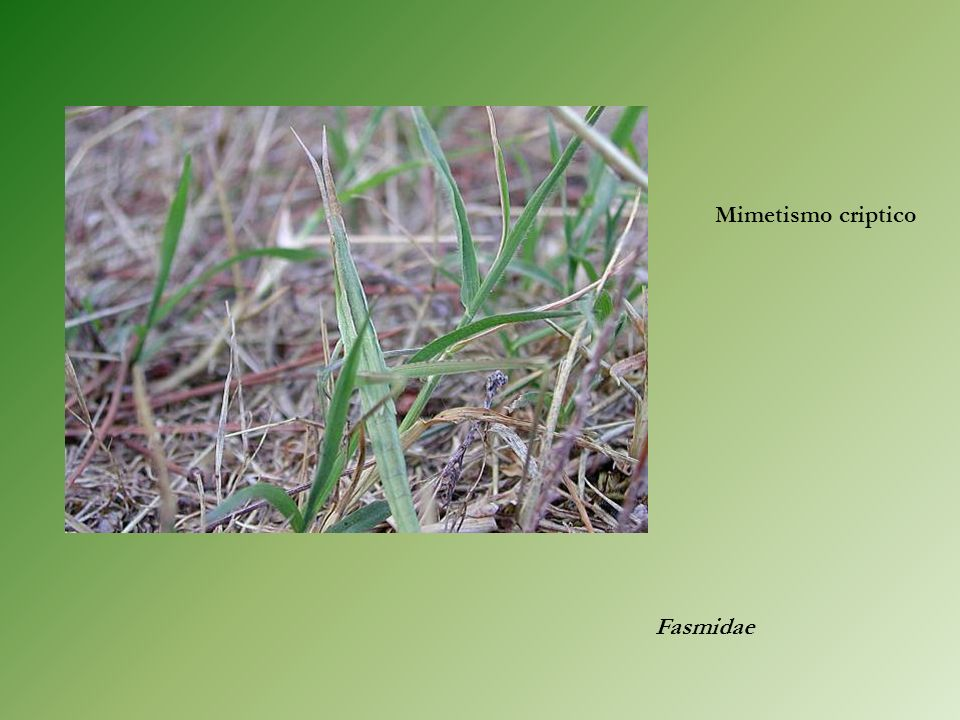 Mimetismo criptico Fasmidae