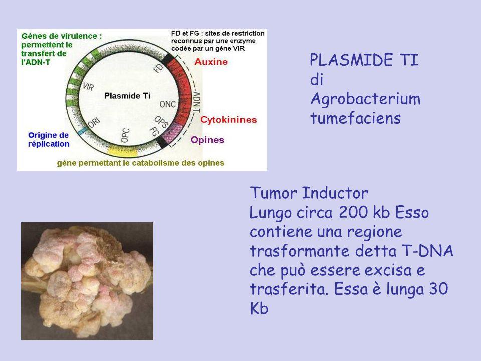 PLASMIDE TI di Agrobacterium tumefaciens