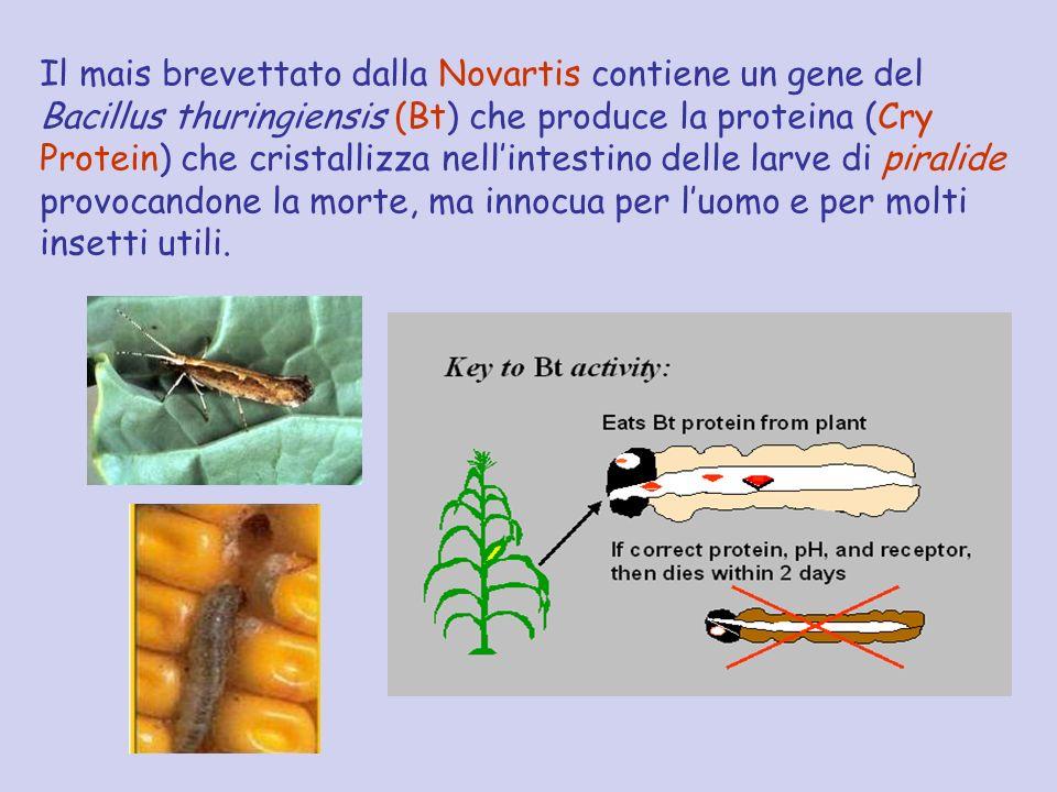 Il mais brevettato dalla Novartis contiene un gene del Bacillus thuringiensis (Bt) che produce la proteina (Cry Protein) che cristallizza nell'intestino delle larve di piralide provocandone la morte, ma innocua per l'uomo e per molti insetti utili.