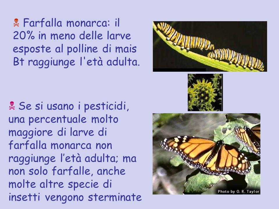 Farfalla monarca: il 20% in meno delle larve esposte al polline di mais Bt raggiunge l età adulta.
