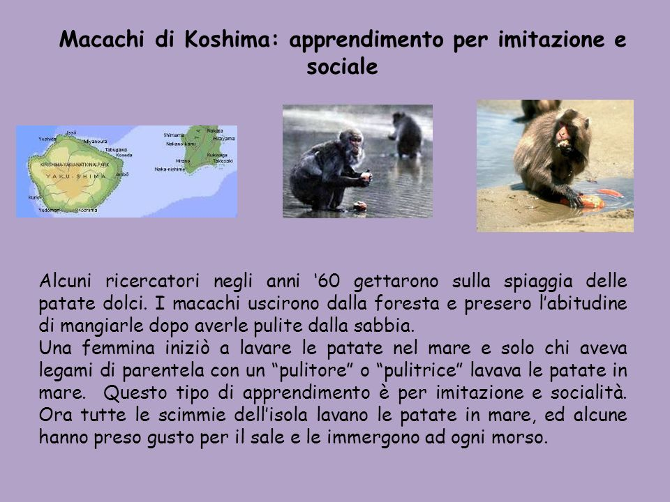 Macachi di Koshima: apprendimento per imitazione e sociale