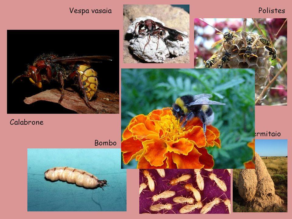 Vespa vasaia Polistes Calabrone Termiti e termitaio Bombo