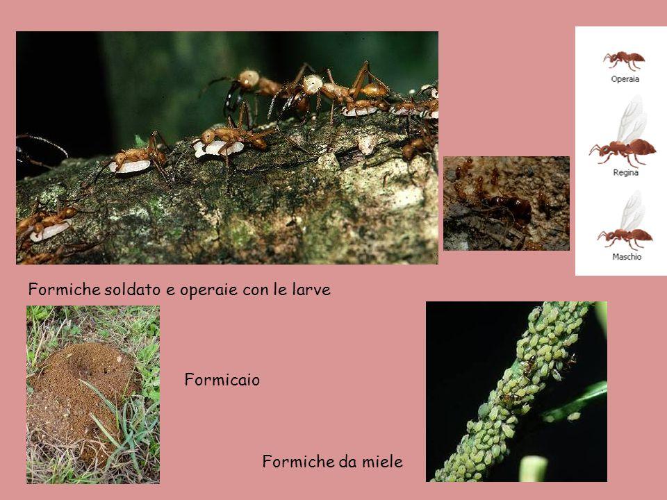 Formiche soldato e operaie con le larve