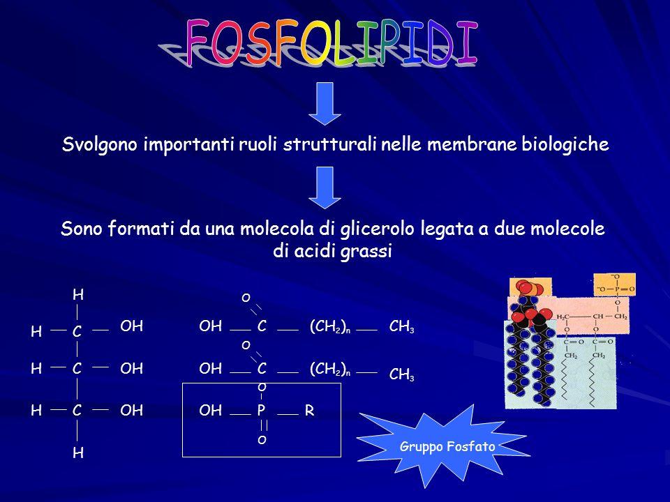 Svolgono importanti ruoli strutturali nelle membrane biologiche