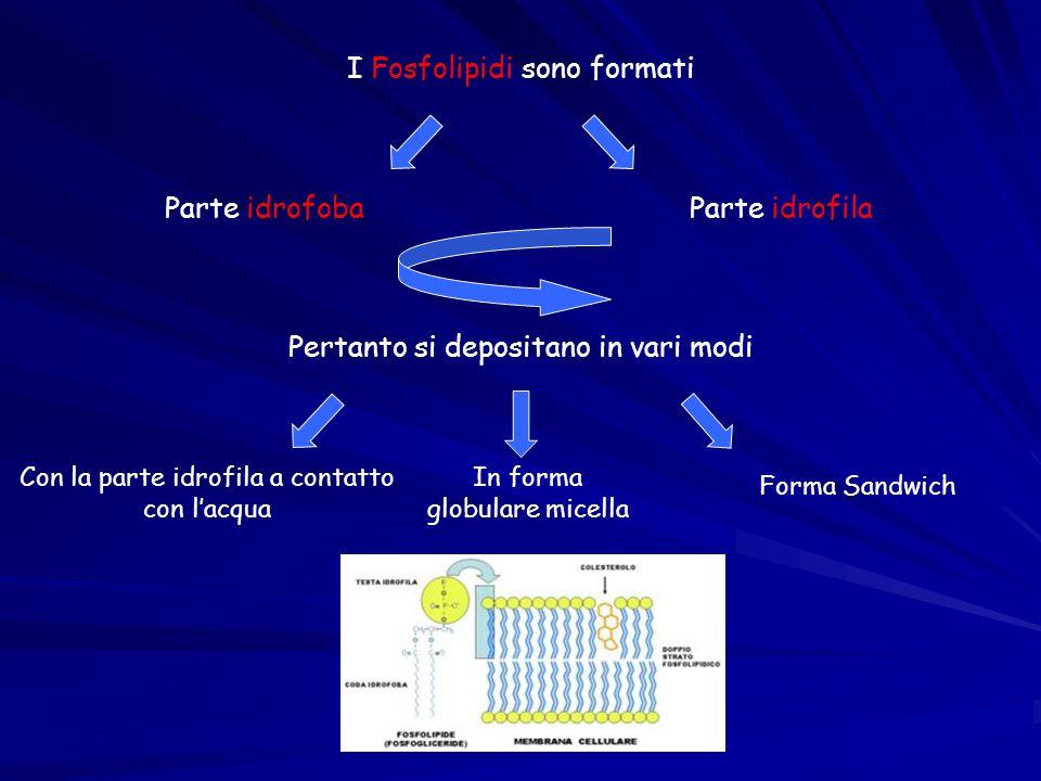 I Fosfolipidi sono formati