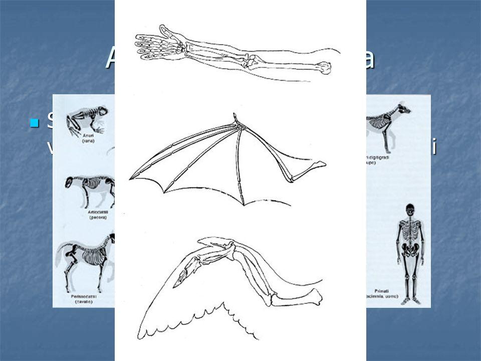 Anatomia comparata Se vediamo gli scheletri dei vertebrati vediamo che essi sono chiaramente simili