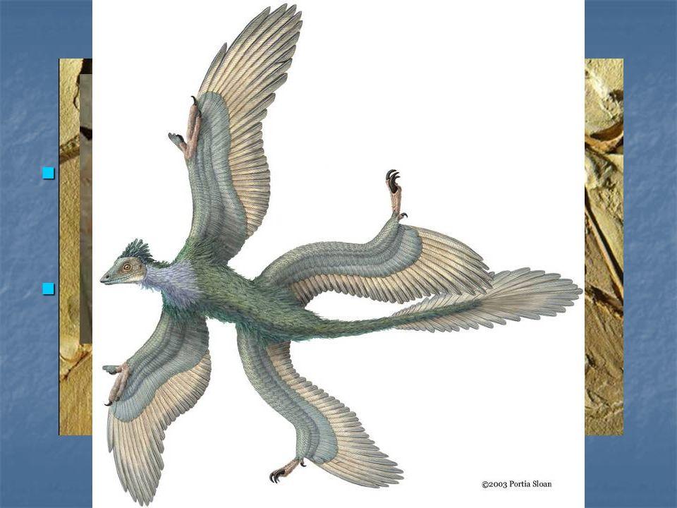Archaeopterix Si tratta chiaramente di un uccello ma presenta ancora evidenti caratteri di un rettile.