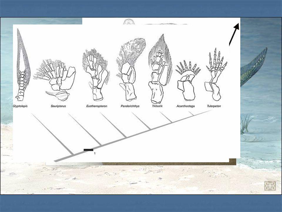 Tiktaalik È ciò che più si avvicina al fossile intermedio fra i pesci e i tetrapodi.