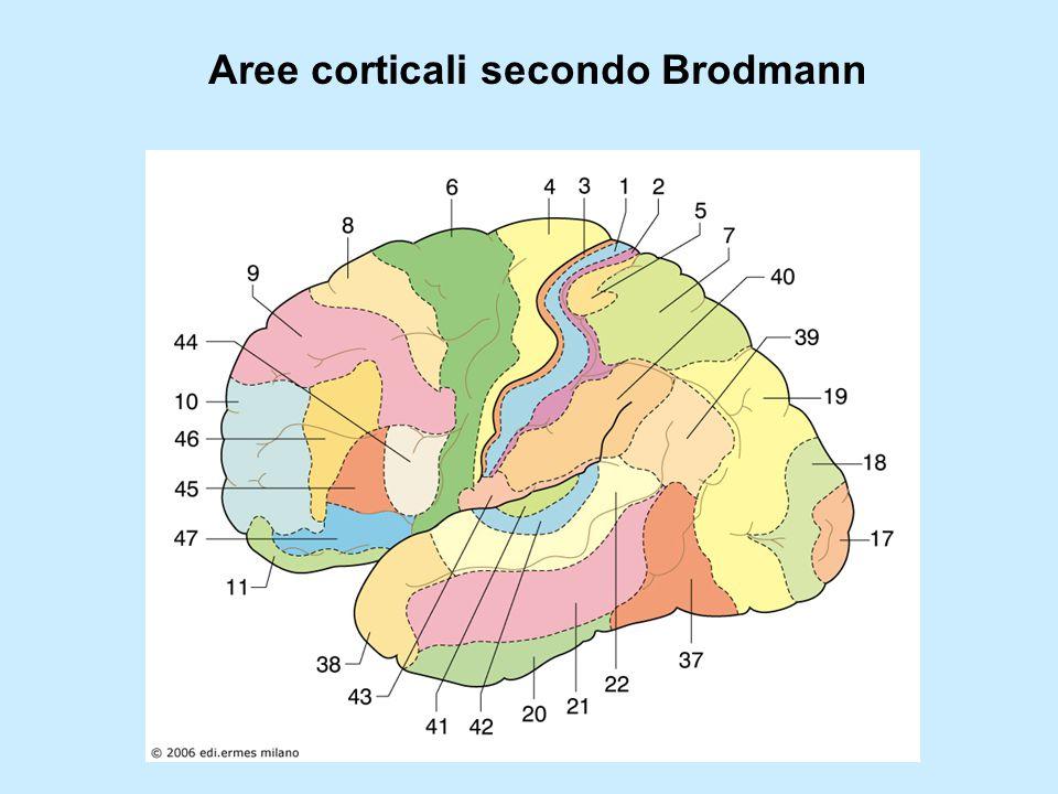 Aree corticali secondo Brodmann