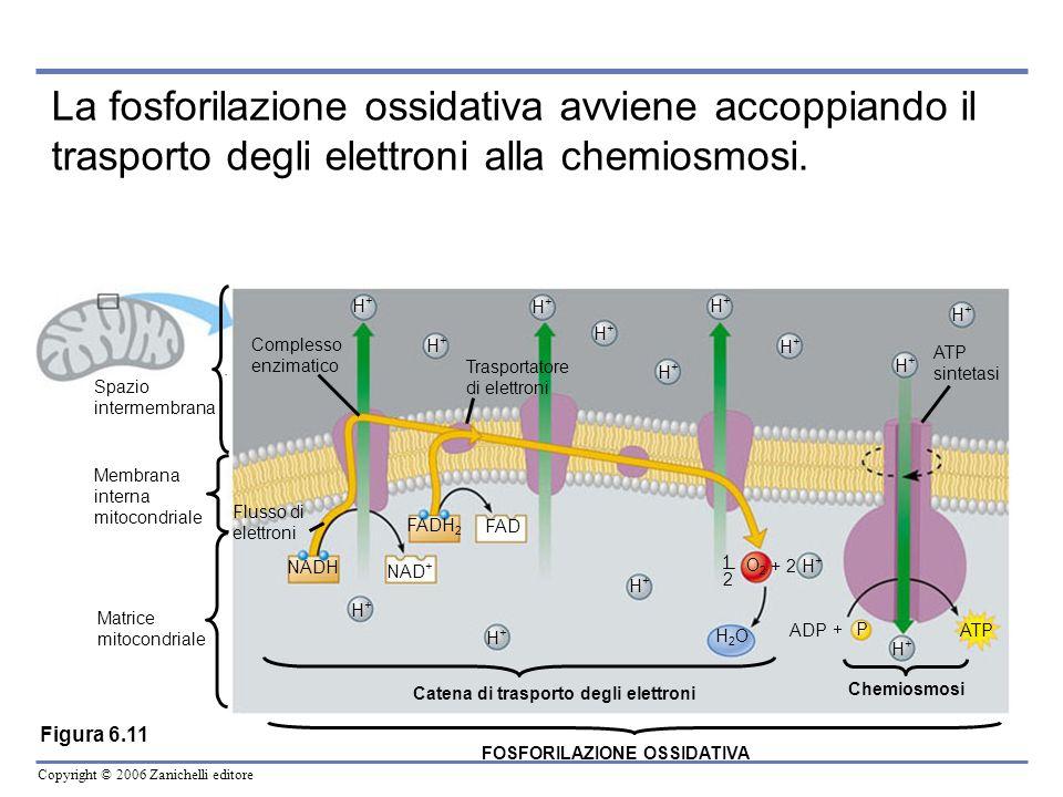 La fosforilazione ossidativa avviene accoppiando il trasporto degli elettroni alla chemiosmosi.