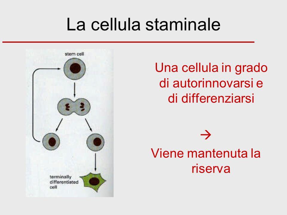 La cellula staminale  Viene mantenuta la riserva