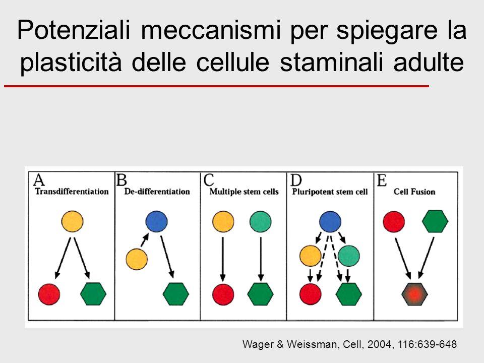 Potenziali meccanismi per spiegare la plasticità delle cellule staminali adulte