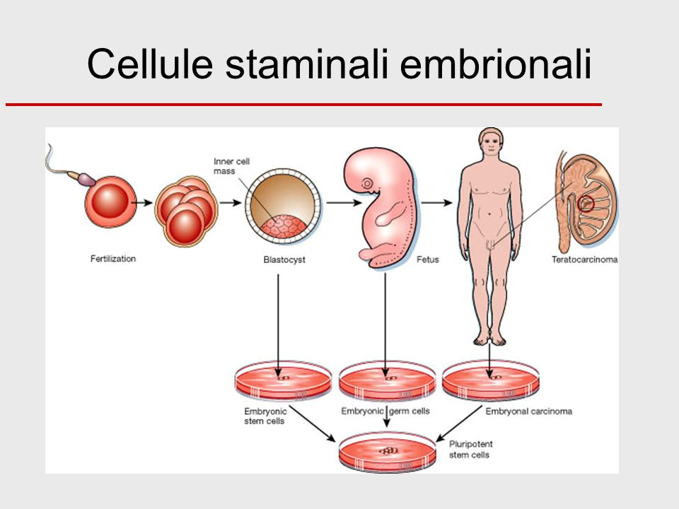 Cellule staminali embrionali