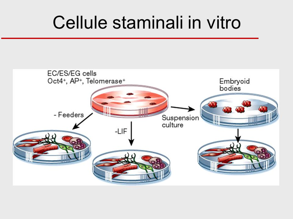 Cellule staminali in vitro