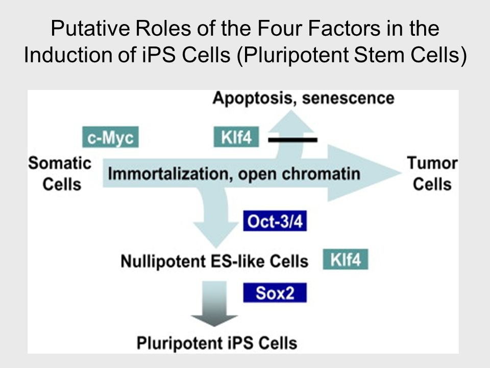 Putative Roles of the Four Factors in the Induction of iPS Cells (Pluripotent Stem Cells)